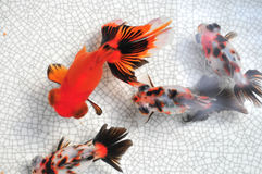 Fish. Filsh swimming in the bowl Stock Image