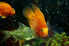 Fish 5. Golden  fish in water tank Stock Photography