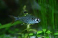Fish 5. The freshwater exotic fish closeup shot in aquarium Stock Photos