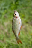 A fish Royalty Free Stock Photos