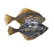 Fish. Isolated flat fish, turbot or fluke Stock Photography