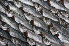 Fish. Horse-mackerel stock images