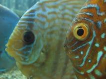 Fish. Two orange fish with big eyes in aquarium royalty free stock photo