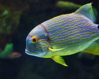 Fish. This is a shot of a fish in an aquarium Royalty Free Stock Photos