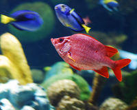 Fish. This is a shot of a fish in an aquarium Royalty Free Stock Photo