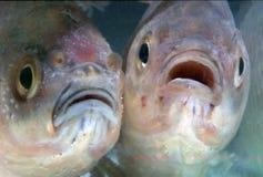 Fish. Decorative fish in aquarium Royalty Free Stock Image