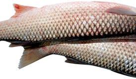 Fish. Fresh fish isolated on white Royalty Free Stock Photo