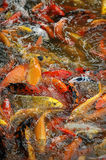 Fish. A lot of fish in the competition for food Royalty Free Stock Image