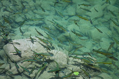 Fish in Abundance. Swim in the clear blue waters of Plitvice National Park, Croatia Royalty Free Stock Images