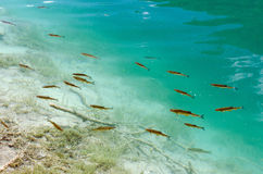 Fish in Abundance. Swim in the clear blue waters of Plitvice National Park, Croatia Stock Images