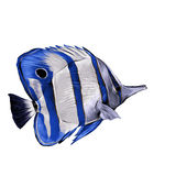 Fish Acanthur sketch vector. Fish Acanthur with blue stripes sketch vector graphics color picture Stock Photos