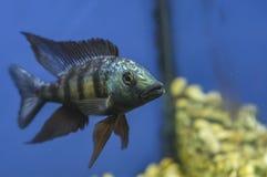 Fish in a Acquarium stock photo