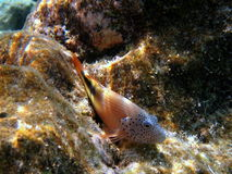Fish Adult Blackside Hawkfish Royalty Free Stock Photos