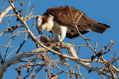 Fish again for dinner. Osprey eating a fish in a tree in the late afternoon light Stock Image