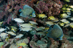 Fish Aggregation Royalty Free Stock Photo