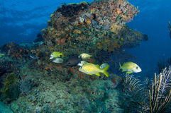 Fish Aggregation over near coral ledge Stock Images