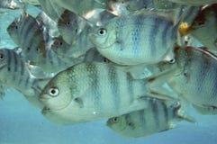 Fish in Aitutaki lagoon stock images