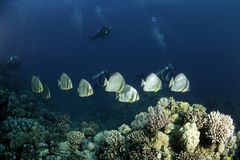 Fish along coral reef royalty free stock photography