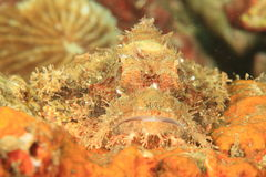 Fish - Ambon scorpionfish Royalty Free Stock Images