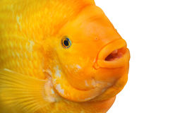 Fish Amphilophus citrinellus yellow color swimming in an aquarium. Stock Image