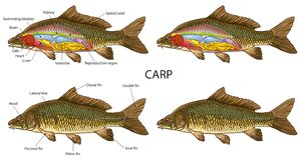 Basic Carp fish anatomy. Vector illustration of Carp fish basic anatomy vector illustration