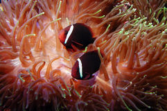 Fish in anemone Stock Images