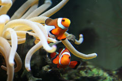 Fish and anemone in south Afri Royalty Free Stock Photo