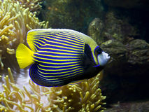 Fish-angel (emperor) and Actinia. Tropical fish Fish-angel, other name Fish-emperor, latin name Pomacanthus, and Actinia, other name Sea anemone stock images