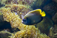 Fish-angel (fish-emperor) and actinia. Tropical fish Fish-angel, orther name fish-emperor, latin name Pomacanthus, and actinia, latin name sea anemone royalty free stock photos