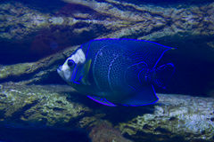 Fish-angel (fish-emperor). Tropical fish Fish-angel, or Fish-imperor, latin name Pomacanthus imperator, recorded in aquarium stock photography