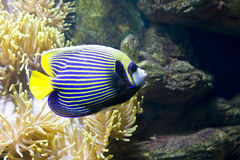 Fish-angel (fish-emperor). Tropical fish fish-angel, other name fish-emperor, latin name Pomacanthus and actinia or sea anemone stock image