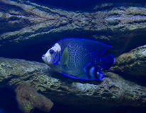 Fish-angel (Fish-imperor). Tropical fish Fish-angel, or Fish-imperor, latin name Pomacanthus imperator, recorded in aquarium stock images