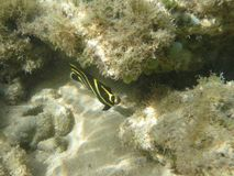 Fish angel juvenile french in the Caribbean Sea. In Guadeloupe. Yellow and black stock photos