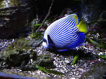 Fish-angel (Pomacanthus imperator) Royalty Free Stock Images