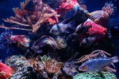 Fish Apogon, Cardinalfish Banggai, Sphaeramia nematoptera. Close up stock photos