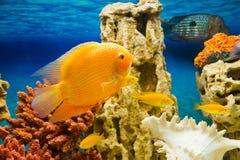 Fish in an aquarium(Рыбки в аквариуме). Photo of exotic fish in home aquarium Royalty Free Stock Photos