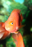 Fish in aquarium. Red fish in aquarium water stock image