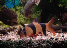 Fish in aquarium Royalty Free Stock Photos