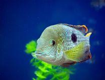 Fish in the aquarium. Blue background and plants Stock Image
