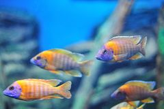 Fish in the aquarium Royalty Free Stock Photos