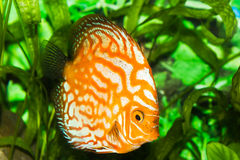 Fish in aquarium. Orange discus fish in aquarium with green plants Royalty Free Stock Images