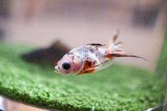 Fish in aquarium Royalty Free Stock Photos