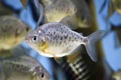 Fish in the aquarium Royalty Free Stock Photo