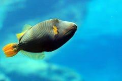 Fish in aquarium. A fish swimming in aquarium Stock Photo