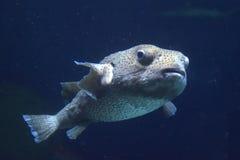 Fish in the aquarium Stock Images