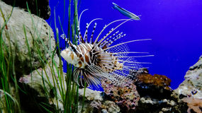 Fish. In an aquarium Royalty Free Stock Photography