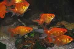 Fish. In the aquarium Royalty Free Stock Photo