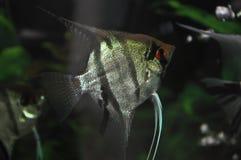 Fish. In the aquarium Stock Image