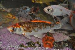 Fish. In the aquarium Royalty Free Stock Images
