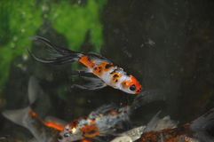 Fish. In the aquarium Stock Images